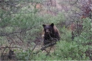 Brown Bear in The Brush