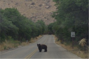 Brown Bear on The Road