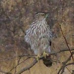 Sharp shinned hawk picture