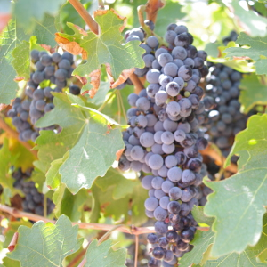 Grapes on the Vine Picture