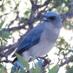 Mexican Jay Picture