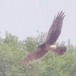 Northern Harrier in Flight picture