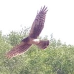 Northern Harrier Picture