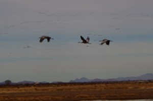 3 Sand Hill Cranes Returning