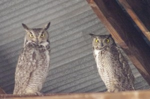 Great Horned Owls  Picture