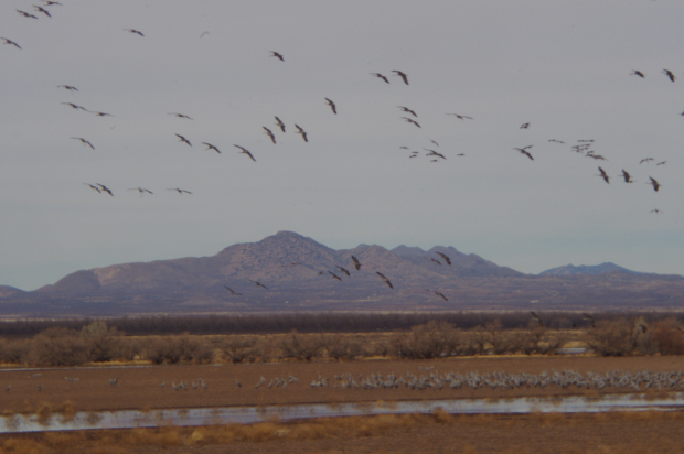 Sand Hill Cranes Returning Picture