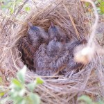 Four BT sparrows in nest picture.