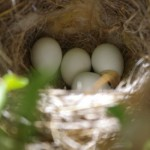 Nest with eggs picture