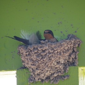 Barn Swallows at Parker Canyon Lake