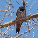 Birding the san pedro river Northern Flicker Pidture