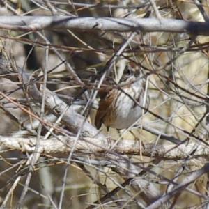 Song Sparrow picture
