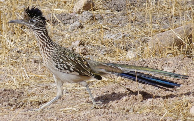 Greater Roadrunner picture