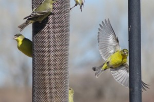 Goldfinch feeder picture