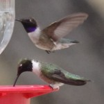 black chinned hummingbirds at San Pedro House birding area feeders picture