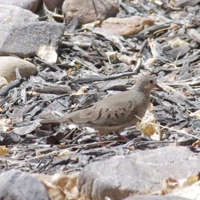 Common Ground Dove Picture