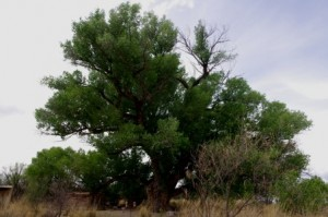 Cottonwood tree picture