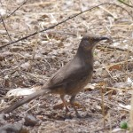 Curved bill Thrasher picture