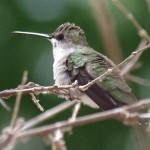 Female Black Chinned Hummingbird picture