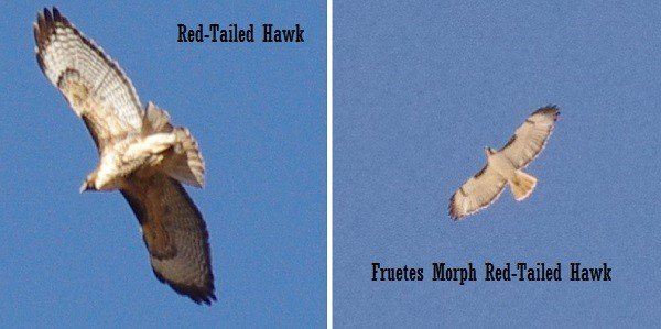 Red tail hawk comparison picture