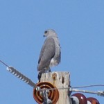 Cochise County Bird Photography example