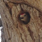 Ladderback Woodpecker in the nest at the San Pedro Riparian National Conservation Area photo