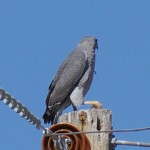Southeastern Arizona Gray Hawk Picture