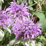 Bee Balm Picture