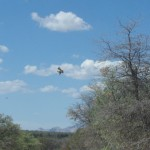 Hawk in Flight photo