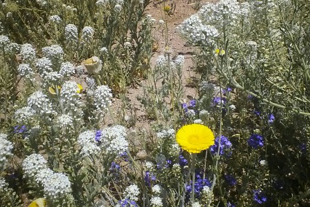 Southeast Arizona Wildflower Picture
