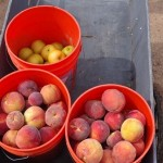Picking fruit in Willcox picture