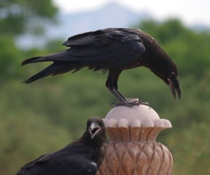 Common Raven Pair picture