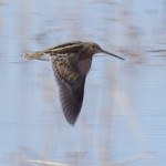 Wilson's Snipe flew off as we were walking along the edge of the lake at White Water Draw.