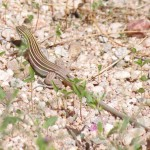 cochise County lizards
