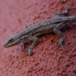 cochise county lizards picture