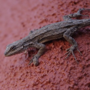Cochise County Lizards - fun to watch while you sit on the