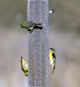 Gold finch at feeder