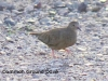 common-ground-dove
