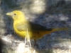 fml-summer-tanager
