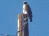 fuertes-sub-spec-of-red-tail-hawk