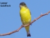 goldfinch-on-limb